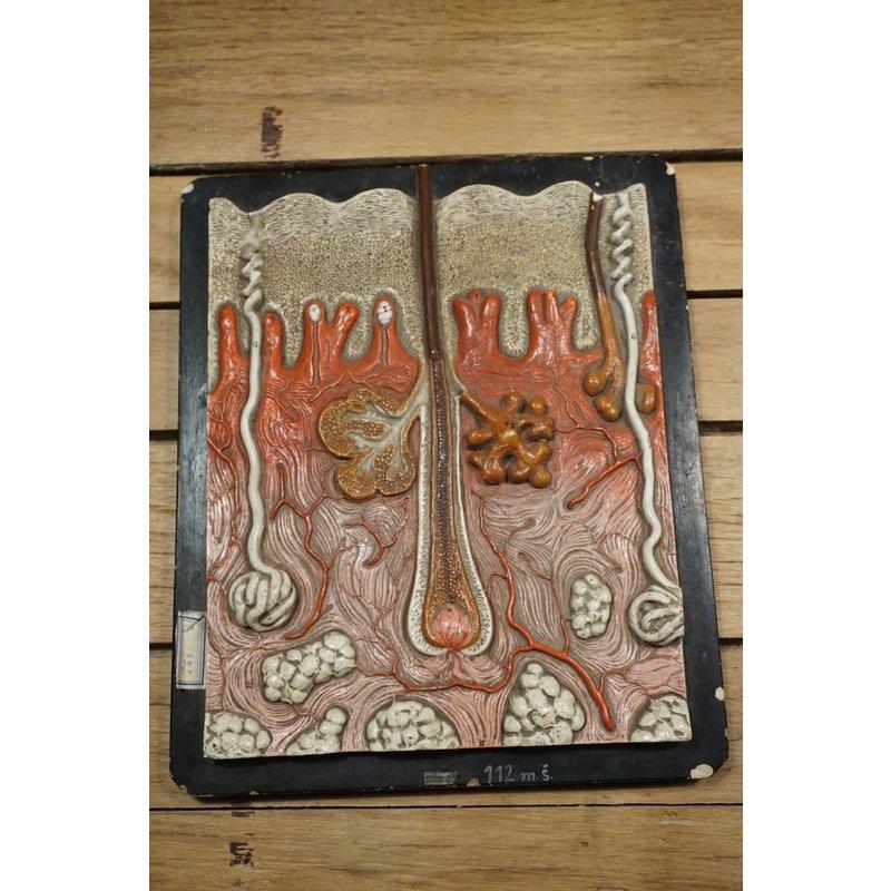 Antiek anatomisch model huid Bock Steger
