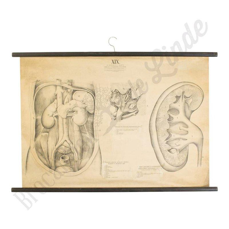 Anatomisch schoolplaat 1930 organen