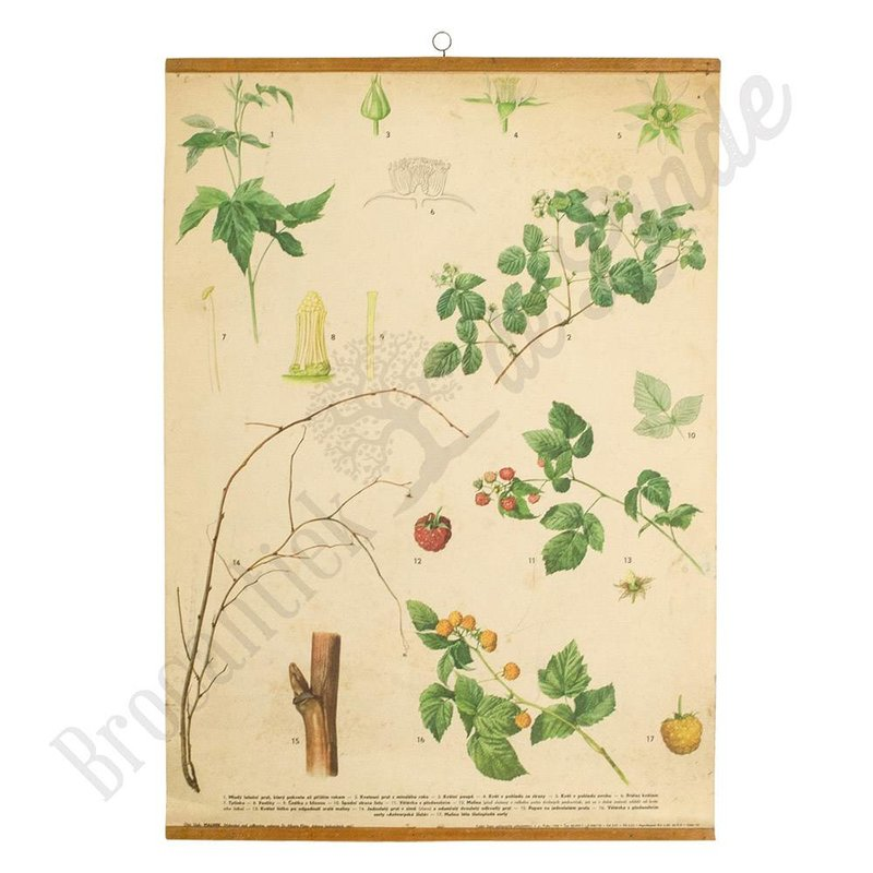 Botanische schoolplaat framboos