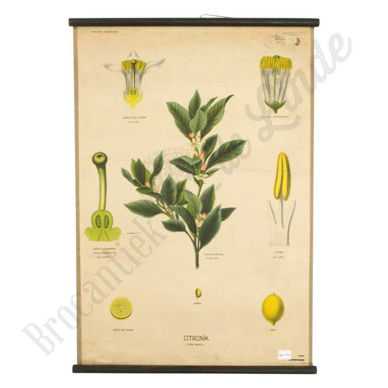 Vintage botanische schoolplaat citroen