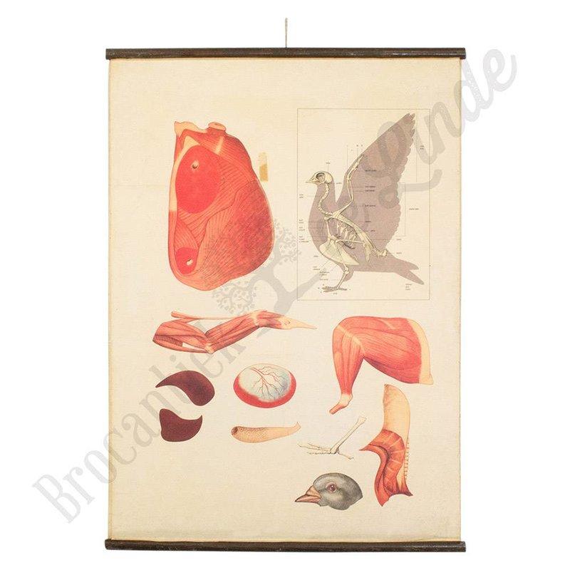 Vintage schoolplaat van de spieren en het geraamte van een duif
