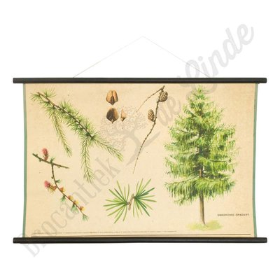 Botanische schoolplaat Europese Lork
