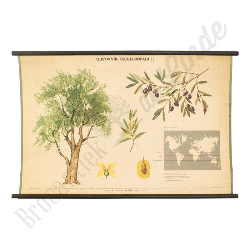 Oude botanische schoolplaat olijvenboom