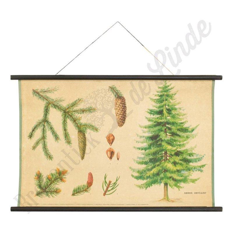 Oude botanische schoolplaat fijnspar