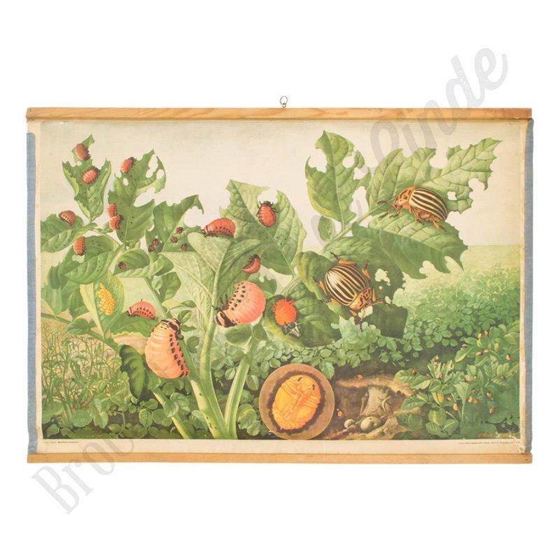 Vintage schoolplaat coloradokever botanisch