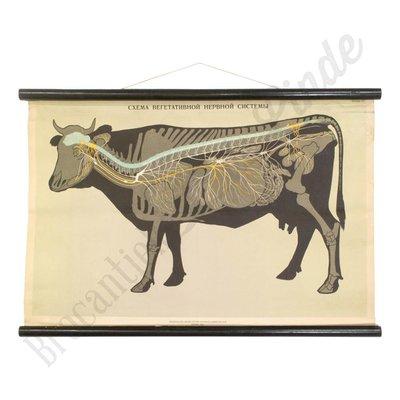 Vintage schoolplaat koe