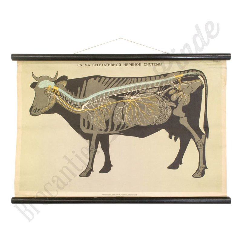 Vintage schoolplaat koe uit Rusland CCCP