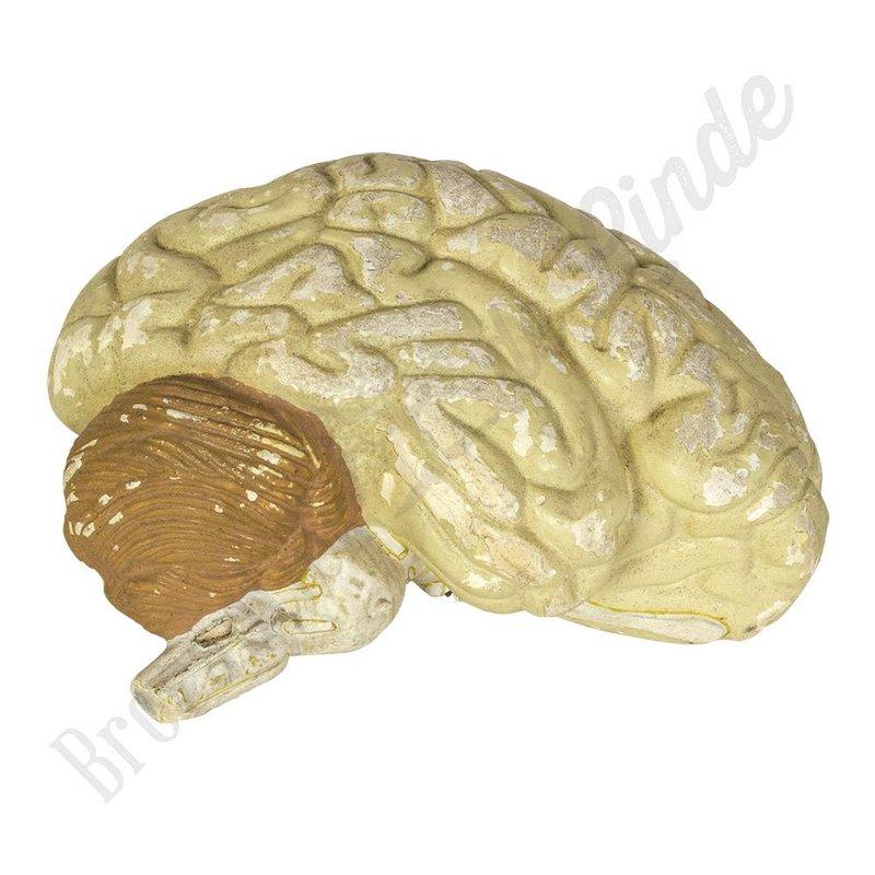 Antiek anatomisch model hersenen