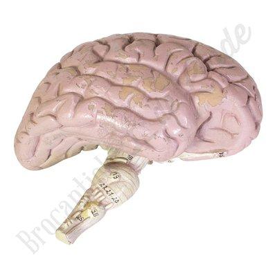 Anatomisch model hersenen Nr. 3
