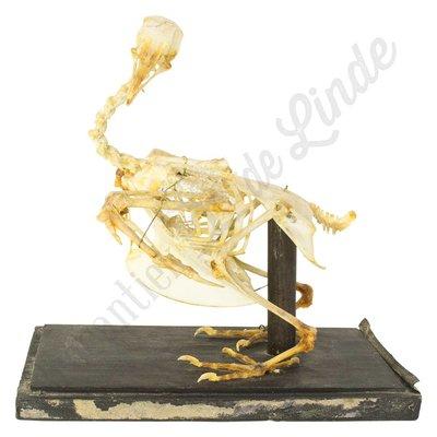 Opgezet skelet gevogelte
