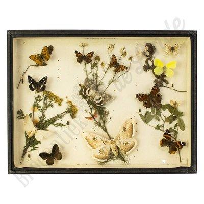 Verschillende soorten vlinders nr. 7