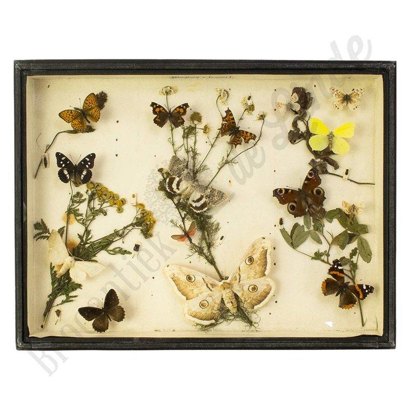 """Oude vlinderlijst met verschillende Europese vlinders  """"No. 7"""""""
