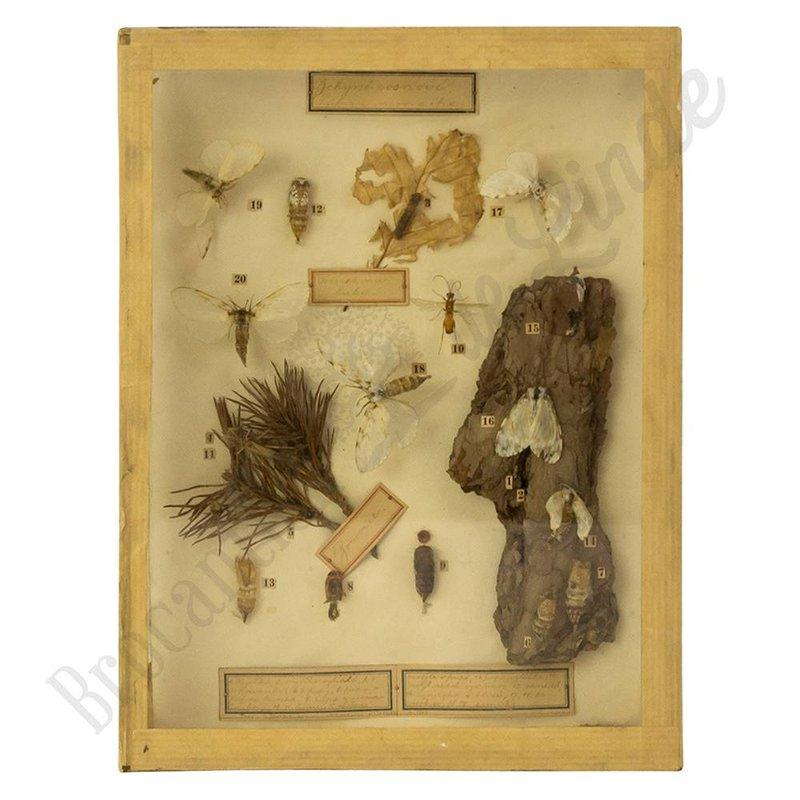 """Antieke vlinderlijst met verschillende vlinders """"No.13"""""""
