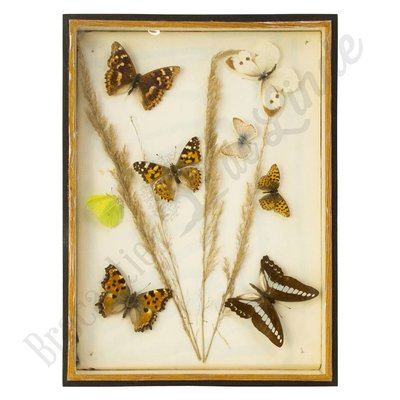 Verschillende soorten vlinders nr. 16