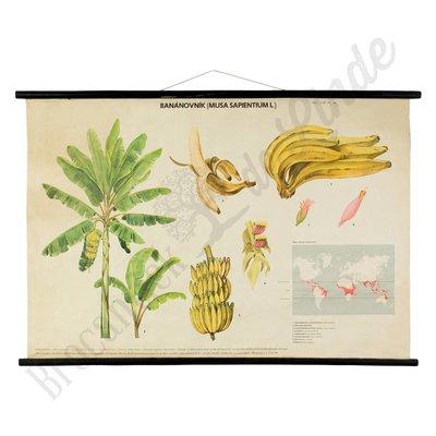 Botanische schoolplaat bananenboom