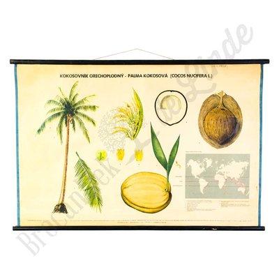 Oude botanische schoolplaat Palmboom Nr. 2
