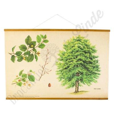 Oude schoolplaat Beukenboom