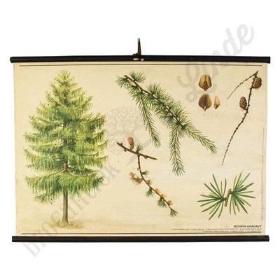 Botanische schoolplaat Larix decidua