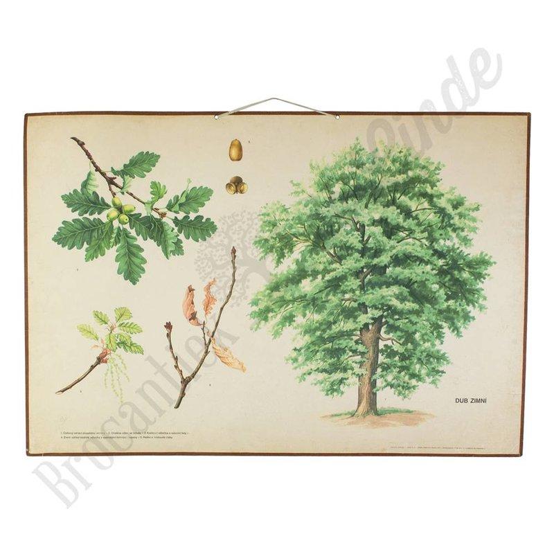 Oude botanische schoolplaat Sessile Oak