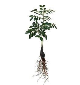 Hk Living Hk living groene tak met wortel 53 cm - Copy