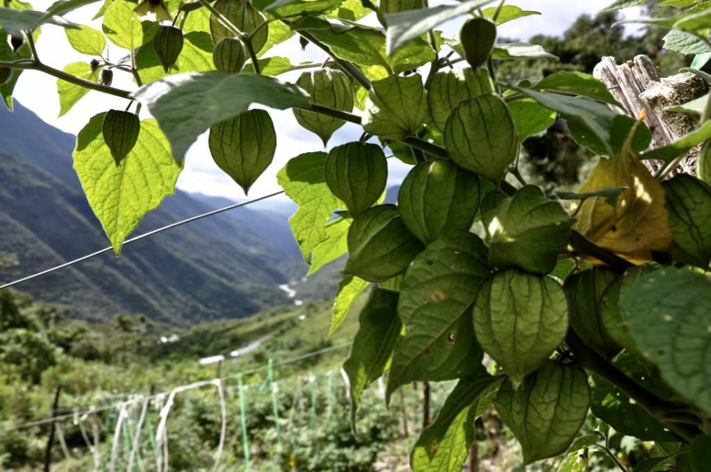 Physalis Berries