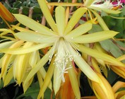 Disocactus