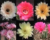 Echinopsis-Hybr