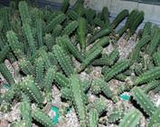 Eriocereus