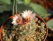 Gymnocactus