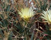 Leuchtenbergia