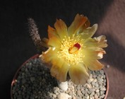 Pterocactus