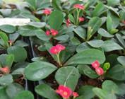 Euphorbia-Hybr.