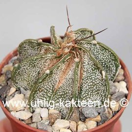 Astrophytum capricorne v. major