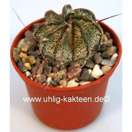 Astrophytum capricorne  v. minor