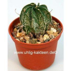 Astrophytum capricorne-Hybr.