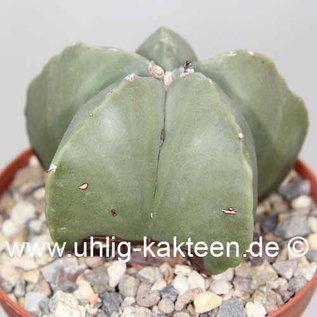 Astrophytum myriostigma  subvar. nudum