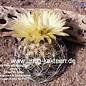 Coryphantha cornifera   Pena Miller, Queretaro