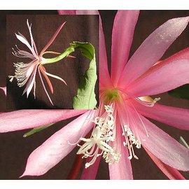 Disophyllum-Hybr. `Frühlingstraum`