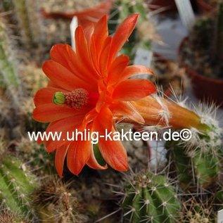 Echinocereus spec. La Bufa  aff. scheeri  2,7 km nach La Bufa
