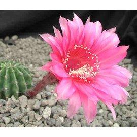 Echinopsis-Hybr. `Burgund` Rheingold 250