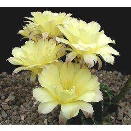 Echinopsis-Hybr. `Maas gelb`