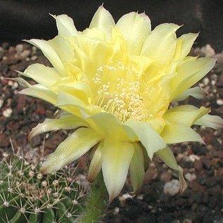 Echinopsis-Hybr. `Roth  7`   Blüte zitronengelb / citrusyellow