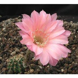 Echinopsis-Hybr. `Sunset` Serie 390