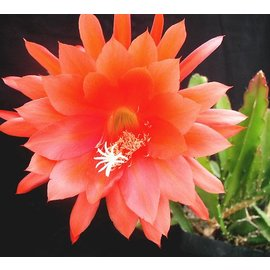 Epiphyllum-Hybr. Fantasie