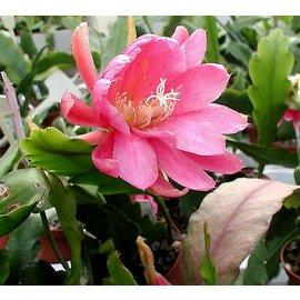 Epiphyllum-Hybr. `Jungfrau`