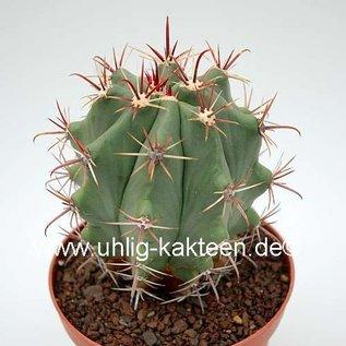 Ferocactus townsendianus   km 75,5, Microonda - El Cardon