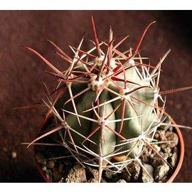 Ferocactus townsendianus   10 km östl. Las Pocitas