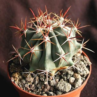 Ferocactus townsendianus   Miramar, El Rincon