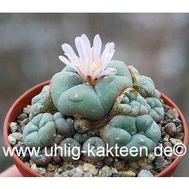Lophophora williamsii f. caespitosa -> on request