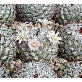 Mammillaria perezdelarosae   Mexiko